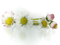 Daisy. Delicate, beauty daisy in springtime isolated on light background royalty free stock photography