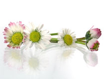Daisy. Delicate, beauty daisy in springtime isolated on light background royalty free stock photos