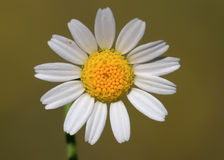 DAISY. Perfect backrounds daisy and detail Stock Photo