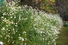 Daisy. Field of white daisy flowers Stock Photo