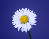 Daisy. On blue background with copy space stock image