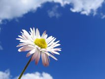 Daisy. In air, bellis perennis, background cloudly sky royalty free stock photo