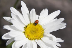 Daisy. Ladybird on a daisy, Alps mountains, Italy royalty free stock photos