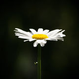 A Daisy. Growing straight up, bright and clear against a dark background Royalty Free Stock Photos