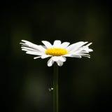 A Daisy Royalty Free Stock Photos