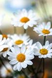 Daisy Στοκ Εικόνες