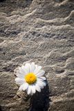 Daisy. On rock, focus in middle of the flower stock images