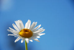 Daisy. One single daisy against a blue sky royalty free stock photo