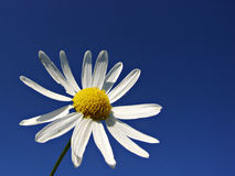 Daisy. A beautiful flower, a white daisy Royalty Free Stock Images