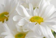Daisy. Very close image of daisy royalty free stock photo