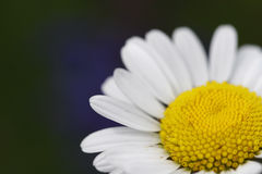 Daisy. With blue flowers in background royalty free stock images