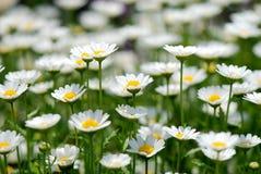 Free Daisy Stock Image - 32196361