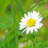 Daisy. White daisy on a meadow Royalty Free Stock Images