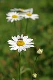 Daisy. Stock Fotografie