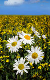 Daisy. White daisy in oilseed stock images