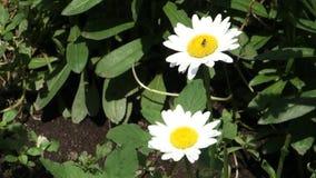 daisy 2