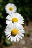 daisy 3 Zdjęcie Royalty Free