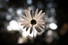 daisy Zdjęcie Royalty Free