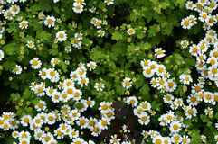 Daisy. Flower; daisy; summer; meadow; leaf; petal; green stock photo
