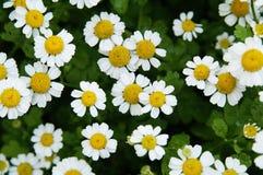 Daisy. Flower; daisy; summer; meadow; leaf; petal; green Stock Photos