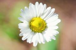 Daisy Royalty-vrije Stock Foto's