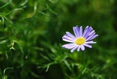 Daisy Stock Foto's