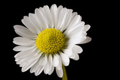 Daisy. Flower over black background royalty free stock photography