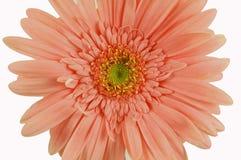 Daisy. Peach daisy Royalty Free Stock Photography