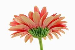 Daisy. Pink daisy Royalty Free Stock Photos