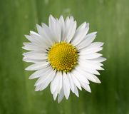 Daisy. Single daisy with green organic background Stock Images