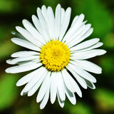 Daisy. Big spring white daisy flower Royalty Free Stock Photo