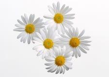 daisy 5 gerbera Zdjęcie Royalty Free