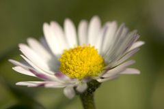 Daisy. With grass in background Stock Photos