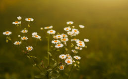 Free Daisy Royalty Free Stock Images - 52153509