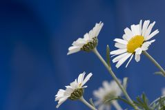 Daisy Stock Images