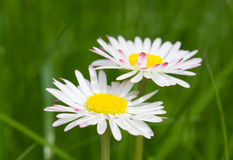 Free Daisy Royalty Free Stock Images - 5320689
