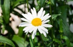 Daisy-2 Arkivbild