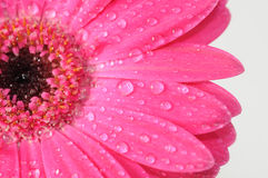 Daisy. Close-up of a pink Daisy with water droplets Stock Image