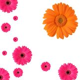 Daisy. Pattern of Daisy flowers in pink and one in orange. Isolated on white background Stock Photography