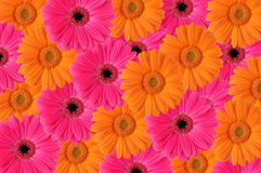 Daisy. Pattern with pink and orange Gerber Daisies Stock Photo