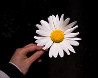 Daisy. Nice bright daisy with hand holding the daisy out of focus Royalty Free Stock Image