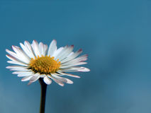 Daisy. Beautiful daisy with blue sky as background Royalty Free Stock Photos