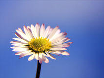 Daisy. Beautiful macro shoot of daisy with blue sky as background Royalty Free Stock Photos