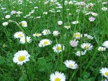 Daisy. Flowers in a meadow stock photo