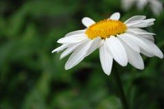 Daisy. White daisy flowers on dark background stock photo