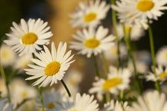 Daisy. Sun daisy Royalty Free Stock Photos