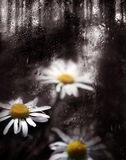 Daisy. In raindrops royalty free stock photos