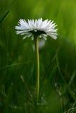 Daisy. Single, subtle daisy surrounded by grass Stock Photo
