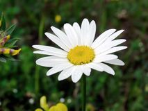 Daisy. Bellis perennis after rain stock photography