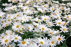 daisy 68 Zdjęcia Royalty Free